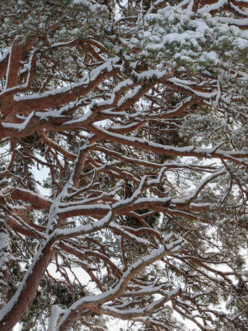 Abstract photograph of Scots Pine Tree Branches covered with snow