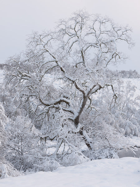Snow-covered tree on the River Shin, Lairg