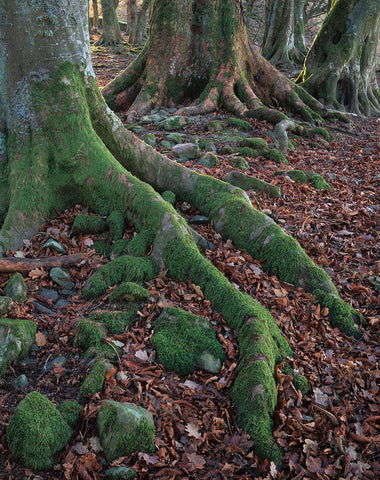Tree Roots in the Yarrow Valley, Scottish Borders