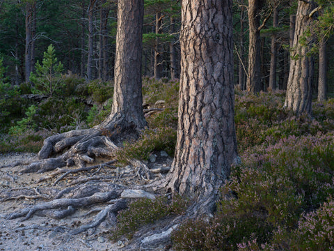 Scots Pine trees on the path to Glen Einich, Cairngorms National Park, Scotland