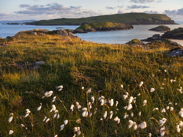 Cotton grass and Handa Island in Sutherland being lit by late evening light
