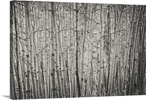Aspen Illusion Canvas Print