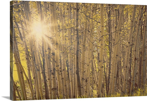 Aspens in Summer Canvas Print