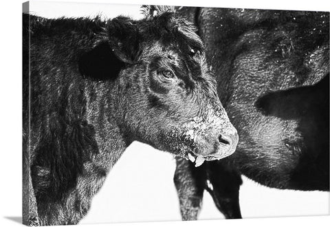 Black And White On Angus Canvas Print