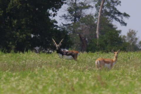 Black Buck and Doe