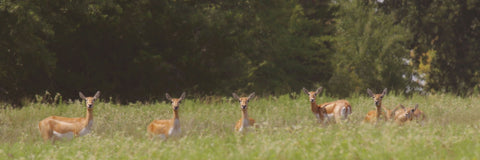 Black Buck Doe in a Row