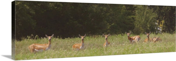 Black Buck Doe in a Row Canvas Print