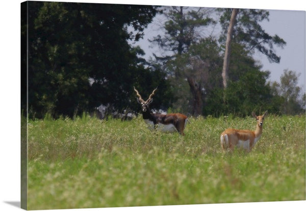 Black Buck and Doe Canvas Print