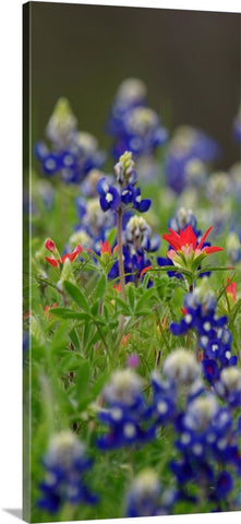 Blue Bonnets and a Paintbrush Canvas Print
