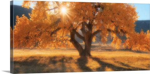 Boxelders Autumn Tree Canvas Print