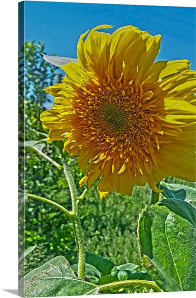 Candy Tuft Sunflower Canvas Print