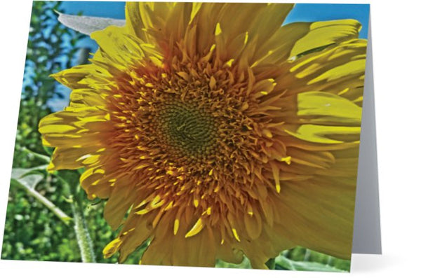 Candy Tuft Sunflower Note Cards and Greeting Cards (25 Pack)
