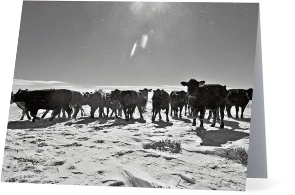 Heifers In The Snow Note Cards and Greeting Cards (12 Pack)