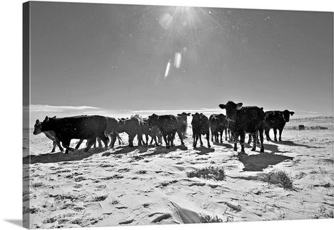 Heifers In The Snow Canvas Print