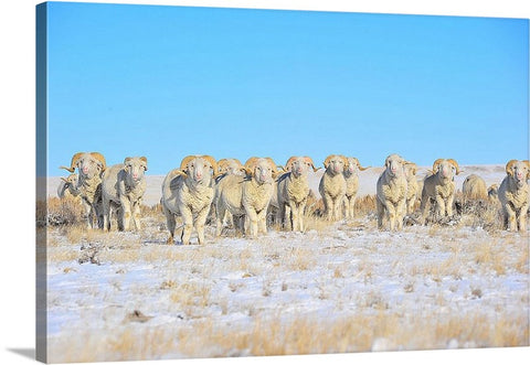 Line Em Up Rams Canvas Print