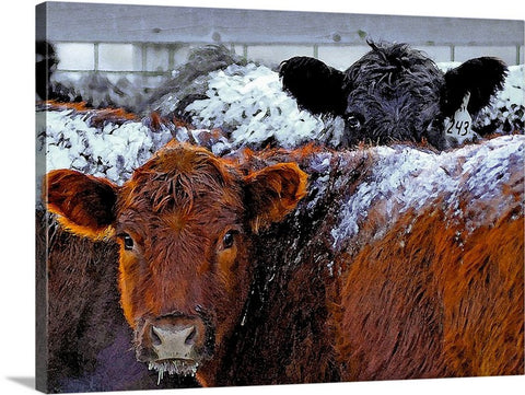 Peek a Boo Heifers Canvas Print