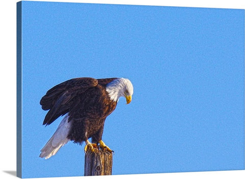 Preparing for Patriotic Flight Eagle Canvas Print