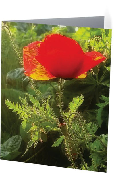 Red Poppy at Sunset Note Cards and Greeting Cards (12 Pack)