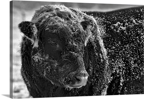 Snow Covered Ice Bull Canvas Print