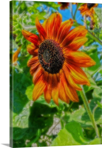 Sun Shower Sunflower Canvas Print