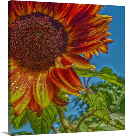 Sunflower Bonnet Canvas Print