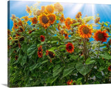 Sunflower Pack Canvas Print