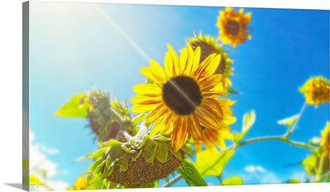 Sunflower and Sunlight Canvas Print