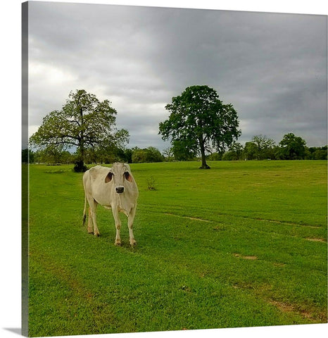 Texas Brahman Mama Canvas Print