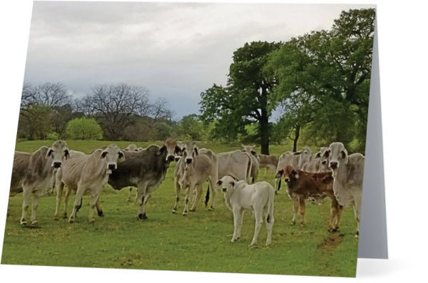 Texas Prairie Brahmans Note Cards and Greeting Cards (25 Pack)