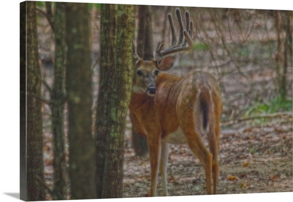 Whitetail Buck in Woods Canvas Print