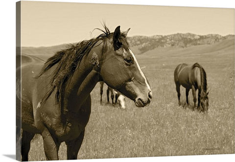 Young Stud Canvas Print