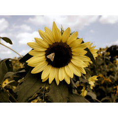 Palmore, Catie-Reagan Title: Sunflower