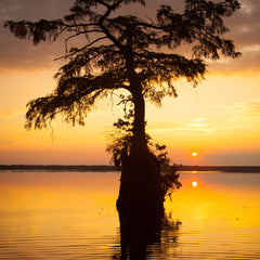 John Henley Title: Cypress Tree, Great Dismal Swamp