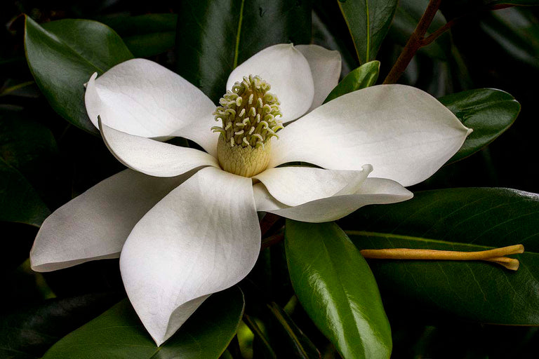 David Everette Title: Magnolia Eloquence