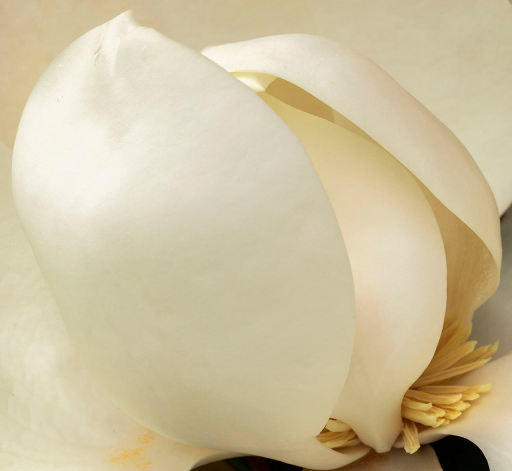 David Everette Title: Ovoid Magnolia