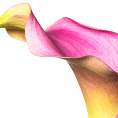 Tom Hennessy Title: Calla Lily Flowing