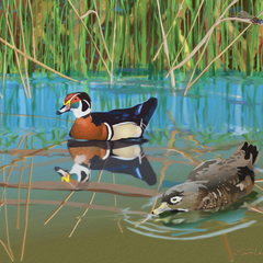 Sam Lafever Title: Wood Duck 2