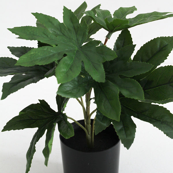 Aralia Potted Plant