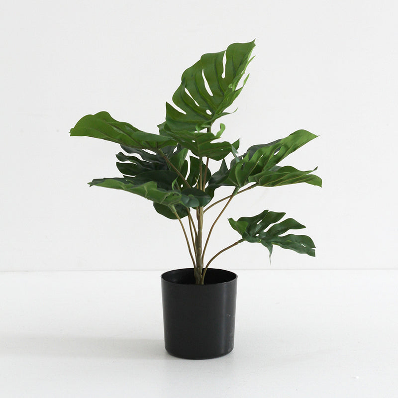 Monsteria Potted Plant