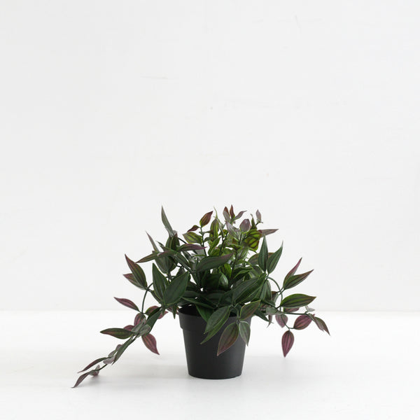 Wandering Dew Potted Plant - Medium