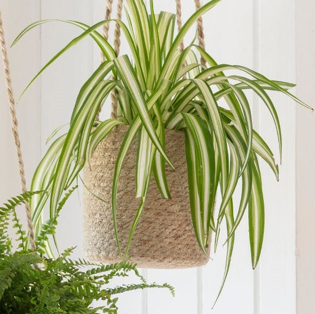 Plant Pot - Indoor hanging