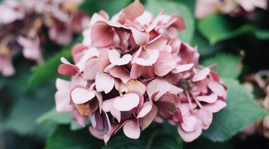 Hydrangea Facts and How They Got Their Colour
