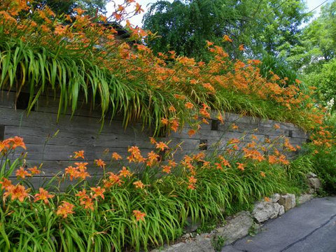 Hello Summer It S The Tiger Lilies Bloomthis