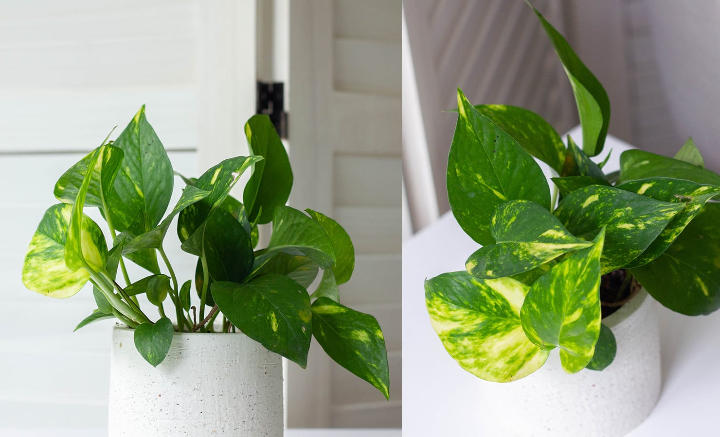 bloomthis-qixi-festival-gift-guide-2021-11-pothos-plant