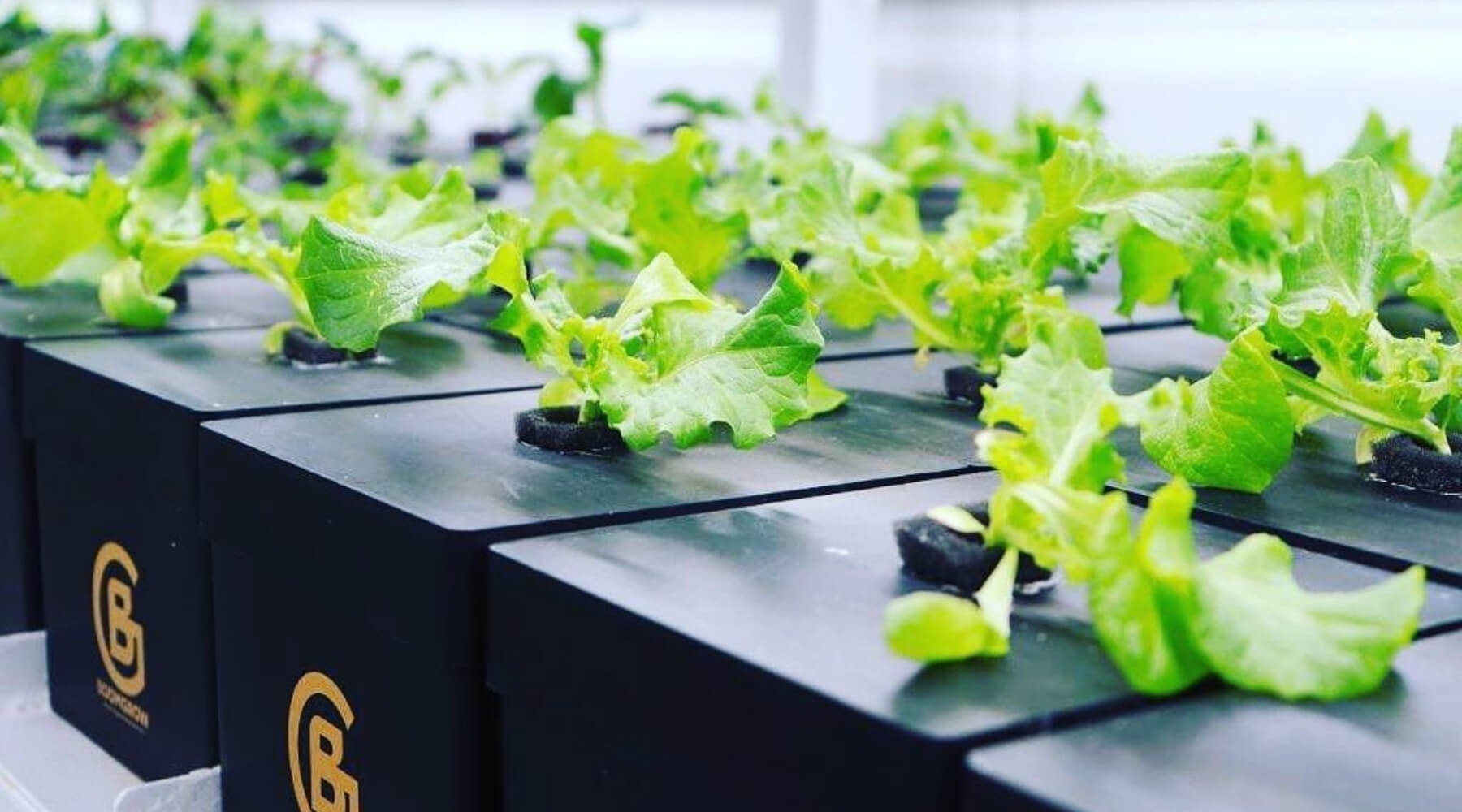 bloomthis-sapot-lokal-9-local-malaysian-brands-we-love-2021-05-boom-grow-sustainably-grown-clean-greens