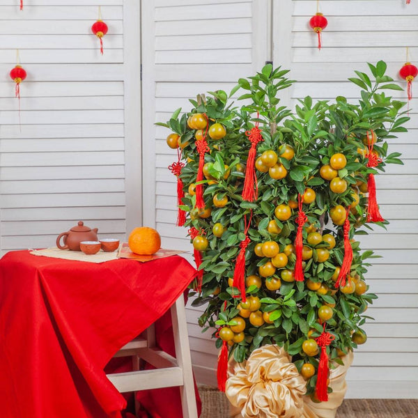 CNY Kumquat Lime Tree