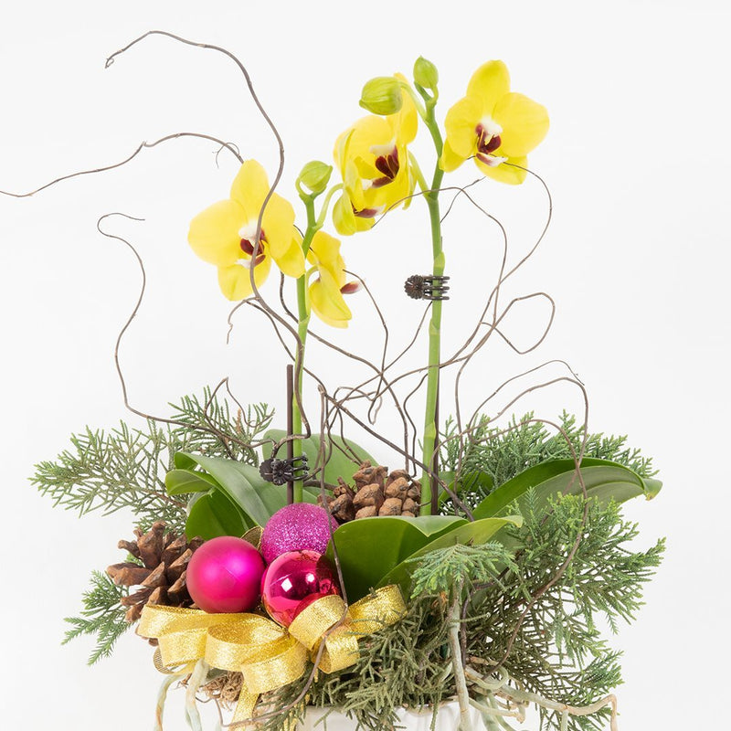 Mini Christmas Orchid (Yellow)