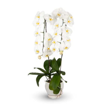 Anniversary Phalaenopsis Orchid (Two Stalks)
