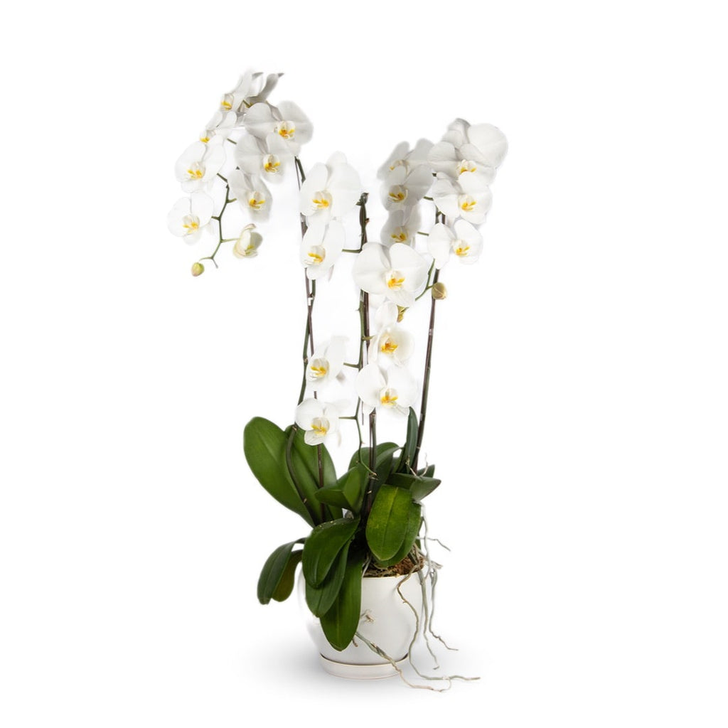 Phalaenopsis Orchid (Three Stalks)
