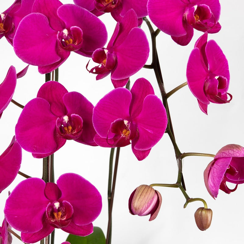 Phalaenopsis Orchid (Two Stalks)